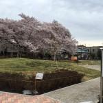 電車の見える公園の桜